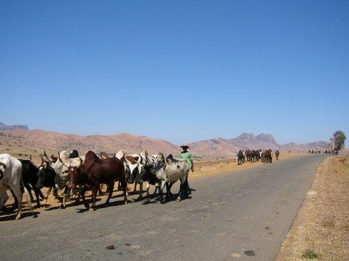 市場へ売りに連れて行かれる牛の群れ
